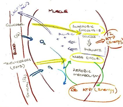 Aerobic Metabolism and Energy Systems