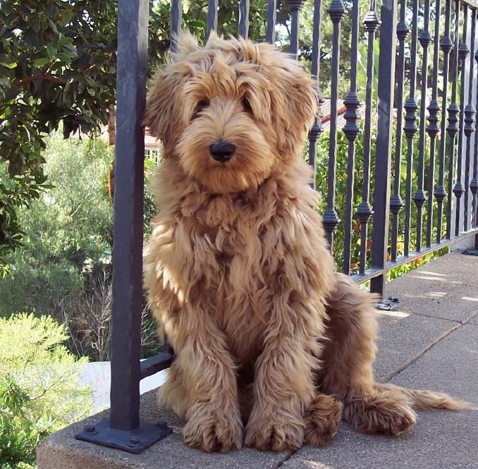 cobberdog breeder