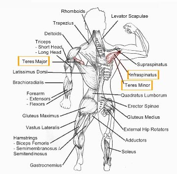 2595 also 20137 together with Dibujos Para Colorear De Cuerpo Humano furthermore Ligaments Of The Fingers also Plyometrie Exercices Pliometrie Debutant. on lateral diagram